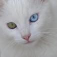 Foi num dia como este que ela se deparou com o abismo dos olhos do gato. Não foi um encontro qualquer, não só porque se assustou pelo inesperado deparar-se com a criatura, nem somente por causa da assimetria cromática das íris do animal, mas porque do fundo das retinas deste faiscava algo fantasmático...